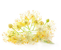 Linden flowers. Isolated on white background Stock Photo
