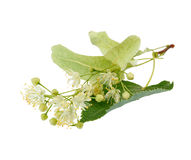 Linden flowers Stock Image