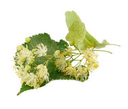 Linden flowers Stock Photography