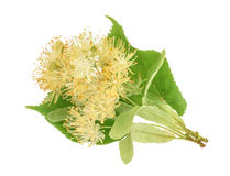 Linden flowers isolated on white background. without shadow Royalty Free Stock Photography