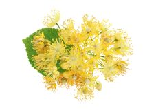 Linden flowers with leaf isolated on white background. Linden flowers with leaf isolated on white background royalty free stock image