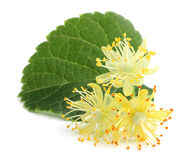 Linden flowers. Linden flowers with leaf isolated on a white background Stock Photography