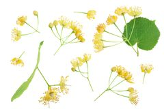 Linden flowers with leaf isolated on white background. Top view. Flat lay. Linden flowers with leaf isolated on white background. Top view. Flat lay stock photos