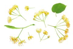 Linden flowers with leaf isolated on white background. Top view. Flat lay. Linden flowers with leaf isolated on white background. Top view. Flat lay stock photography