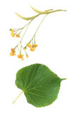 Linden flowers and leaves Royalty Free Stock Image