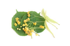 Linden flowers and leaves Royalty Free Stock Images