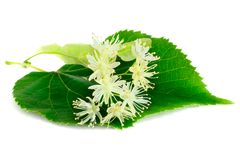 Linden flowers with leaves isolated on white background. Inden flowers have an anti-inflammatory and sedative effect they are used for colds, fevers, flu and stock image