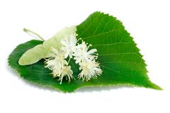Linden flowers with leaves isolated on white background. Inden flowers have an anti-inflammatory and sedative effect they are used for colds, fevers, flu and stock photography