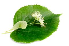 Linden flowers with leaves isolated on white background. Inden flowers have an anti-inflammatory and sedative effect they are used for colds, fevers, flu and stock images