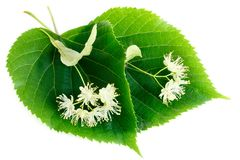 Linden flowers with leaves isolated on white background. Inden flowers have an anti-inflammatory and sedative effect they are used for colds, fevers, flu and royalty free stock photo