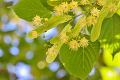 Linden flowers and linden tree Royalty Free Stock Image