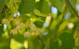 Linden flowers and linden tree Stock Photos
