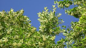 Linden flowers move in wind on blue sky background. 4K stock footage