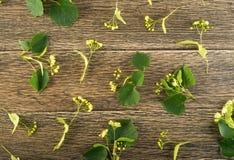 Linden Flowers Pattern imagens de stock