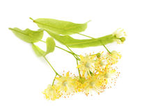 Linden flowers . Royalty Free Stock Photos