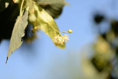 Linden flowers on a tree branch on a sunny day. Linden flowers on a tree branch close up on a sunny day royalty free stock image