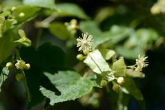 Linden flowers on a tree branch on a sunny day. Linden flowers on a tree branch close up on a sunny day stock photo