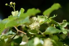 Linden flowers on a tree branch on a sunny day. Linden flowers on a tree branch close up on a sunny day stock image