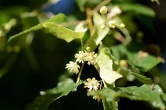 Linden flowers on a tree branch on a sunny day. Linden flowers on a tree branch close up on a sunny day stock images