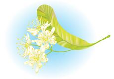 Linden flowers. Vector illustration. Linden flowers. Vector illustration on blue backround Royalty Free Stock Photography