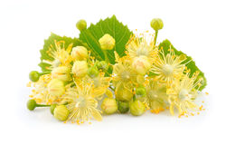 Linden flowers. On a white background Stock Photo