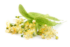 Linden flowers Royalty Free Stock Photo