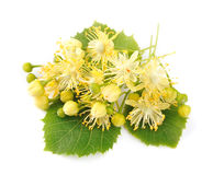 Linden flowers Royalty Free Stock Photography