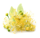 Linden flowers. Royalty Free Stock Images