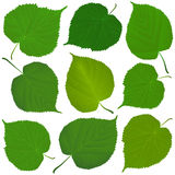 Linden green leaves Royalty Free Stock Photo