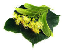 Linden inflorescence Royalty Free Stock Photo