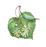 Linden inflorescence on white royalty free illustration