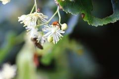 Linden with ladybug. Linden blossom background with ladybug Stock Photos