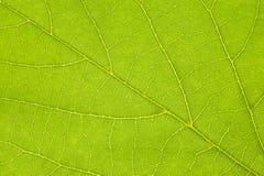 Linden leaf Stock Images