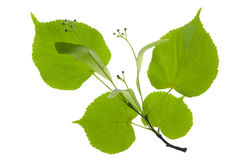 Linden leaf Royalty Free Stock Photography