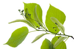 Linden leaf Royalty Free Stock Photos