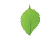 Linden leaf. Green leaf isolated on white Stock Photography