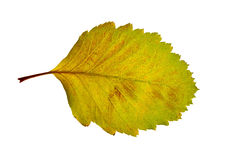 Linden leaf Royalty Free Stock Photo