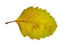 Linden leaf Royalty Free Stock Photo