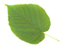 Linden leaf Stock Photo