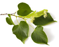 Linden. Leaf with flowers isolated on white background Stock Image