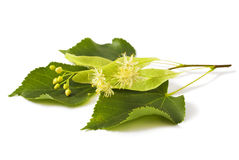 Linden. Leaf with flowers isolated on white background Stock Photo