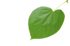 Linden leaf. Green linden leaf isolated on white background Royalty Free Stock Photos
