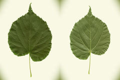 Linden leaf. High precision photo tracing. Stock Photos