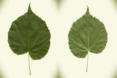 Linden leaf. High precision photo tracing. Stock Photos