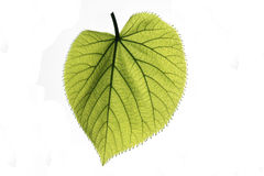Linden leaf isolated. Isolated green leaf on white background Stock Images