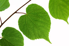 Linden leaf isolated Stock Photos
