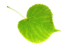 Linden leaf on isolated Royalty Free Stock Photos