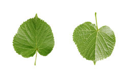 Linden leaf isolated. On white Stock Images