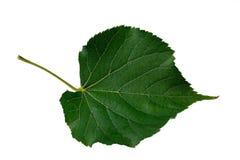 Linden leaf Stock Image