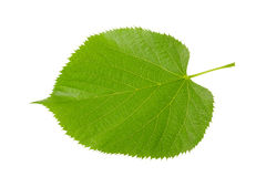 Linden leaf Royalty Free Stock Images